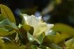 Maglonia shrub