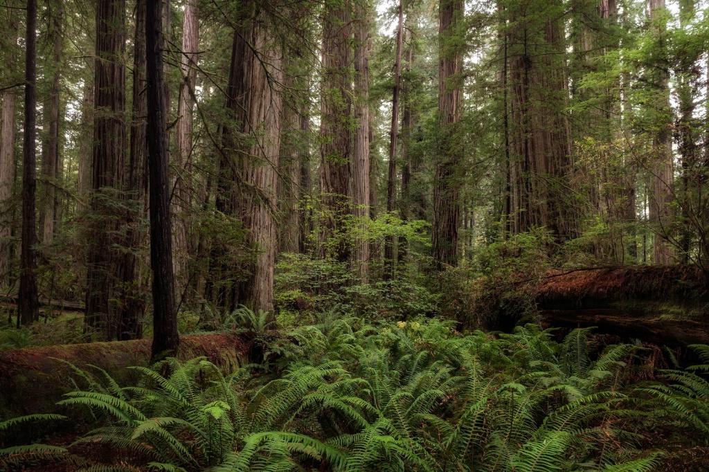 Ferns Beneath the Redwoods