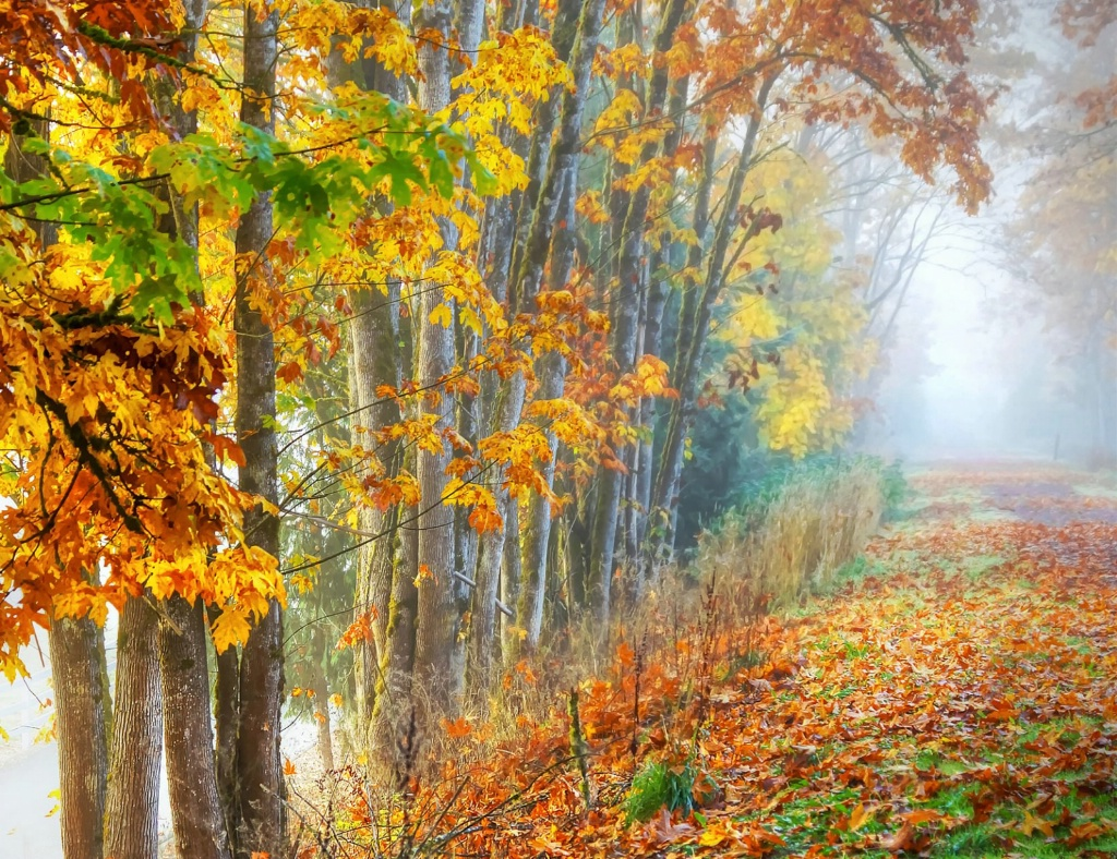 Tree Lined Path in Fog