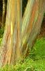 Rainbow Eucalyptu...