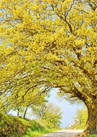 Oak tree on the road.