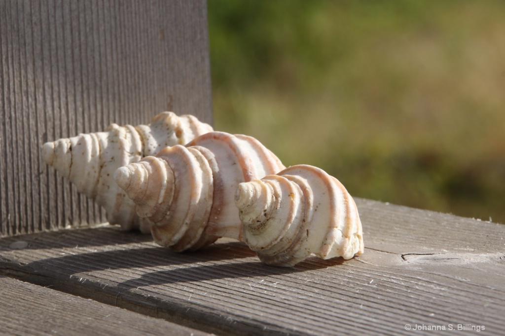 Shells - ID: 15494492 © Johanna S. Billings