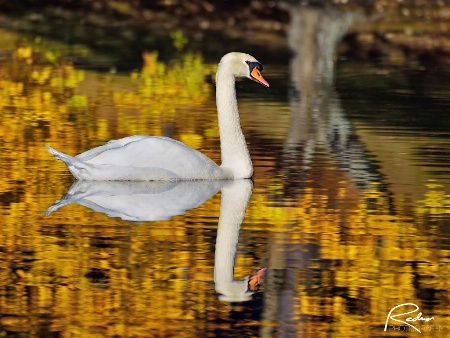 Swan in the Fall