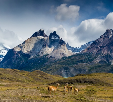 Vicunas at Torres Del Paine