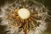 Dandelion Wheel