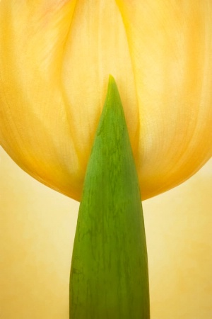 Tulip with Leaf