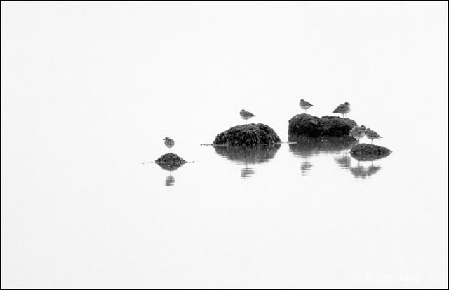 shorebirds on rocks - ID: 15499312 © Stuart May