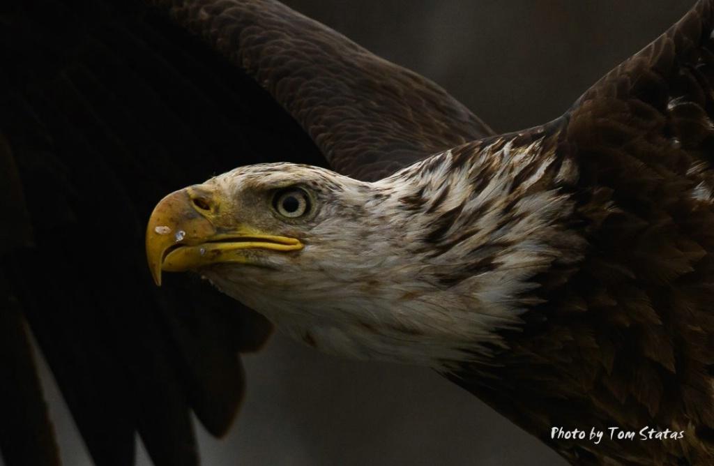 Eagles 2017-12-04 2 of 4 - ID: 15499907 © Thomas  A. Statas