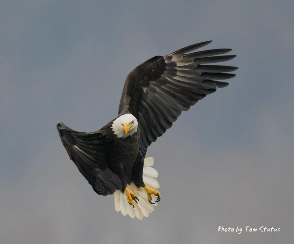 Eagles 2017-12-04 4 of 4 - ID: 15499909 © Thomas  A. Statas
