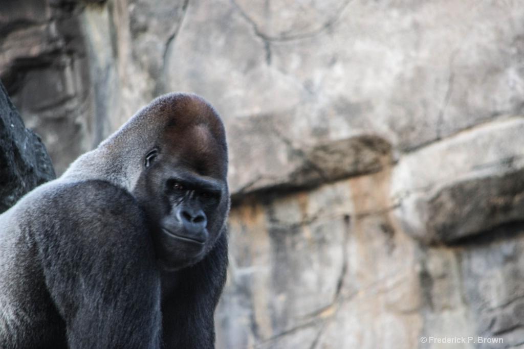 Gorilla 5 - ID: 15500844 © Frederick P. Brown
