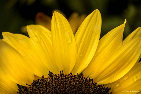 Partial Sunflower 8-26-17 057