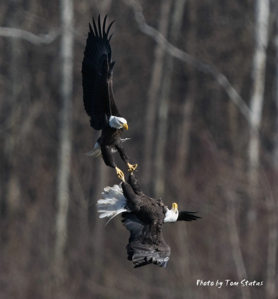Eagles Locked Talons - ID: 15501247 © Thomas  A. Statas