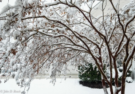 Boughs with Fresh Snow