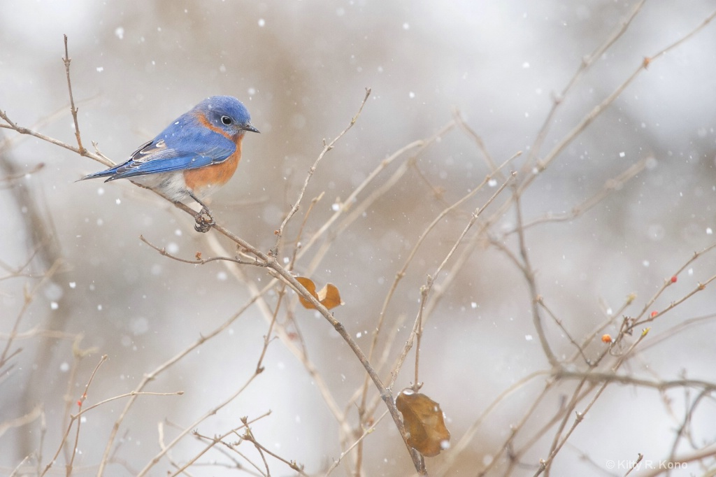 Bluebird in the Snow Today in Valley Forge