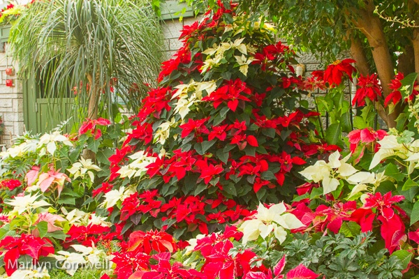 A Special Christmas Tree - ID: 15503040 © Marilyn Cornwell
