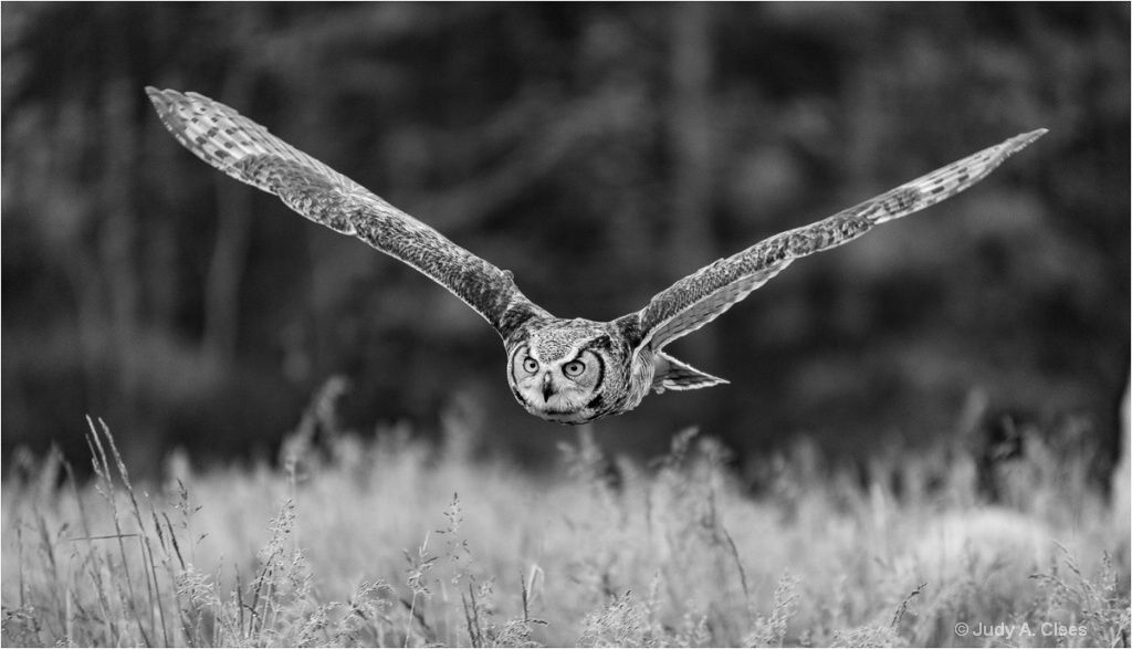 Flying Owl - ID: 15504083 © Judy A. Clees