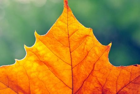 Plane tree leaf.