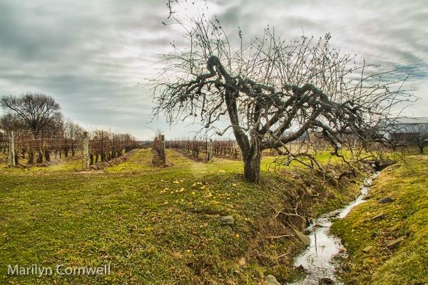 Daniel Lenko Winery  - ID: 15505260 © Marilyn Cornwell