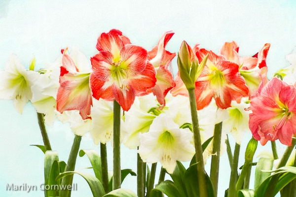 Amaryllis Gathering  - ID: 15505692 © Marilyn Cornwell
