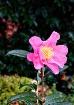 Last Camellia