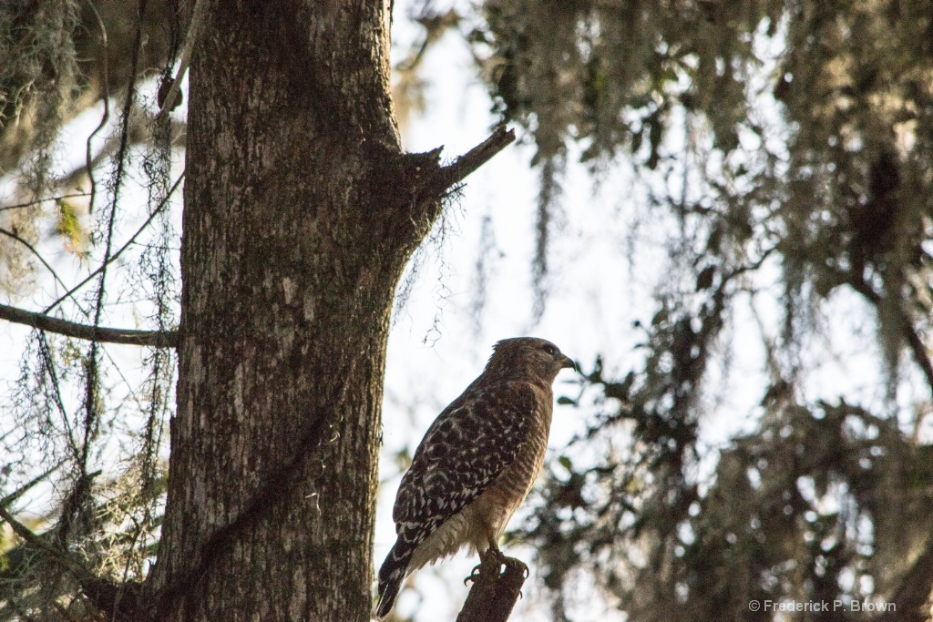 Red-Shouldered Hawk - ID: 15506254 © Frederick P. Brown