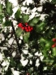 Snow and Holly