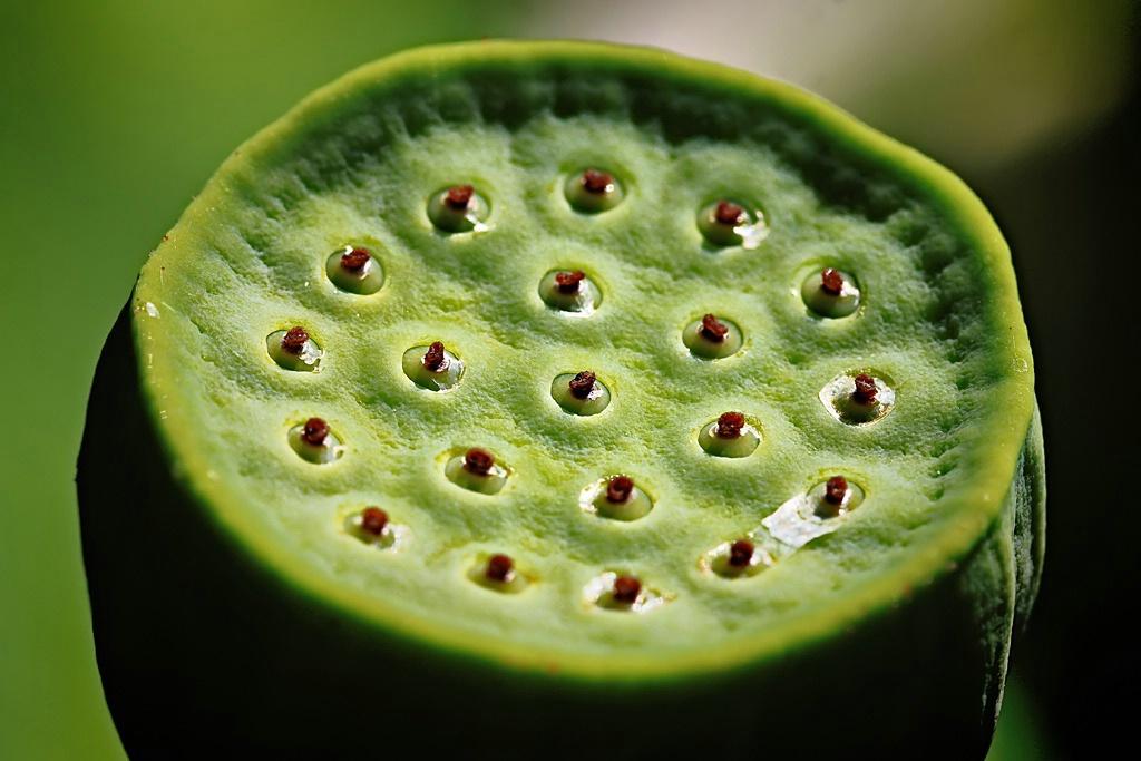 Lotus Pod