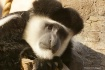 Colobus Faces (C)