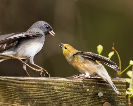 Junco and Goldfinch