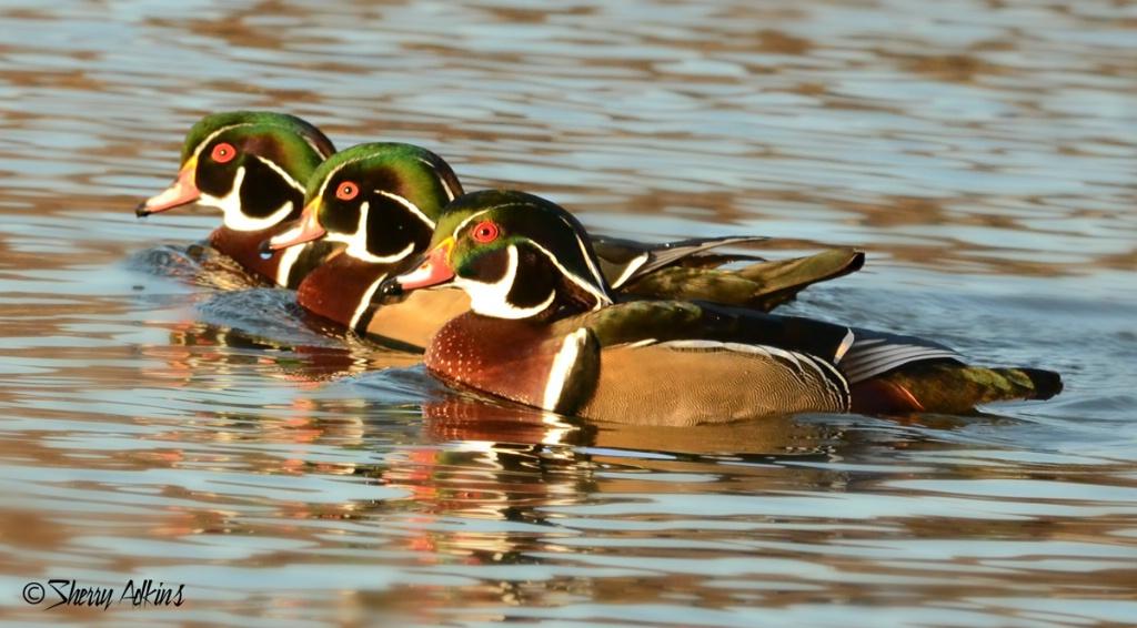 Wood ducks in a row - ID: 15508385 © Sherry Karr Adkins