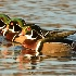 2Wood ducks in a row - ID: 15508385 © Sherry Karr Adkins