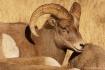 Sniffing Ram