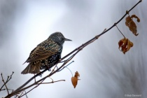 Winter Starling