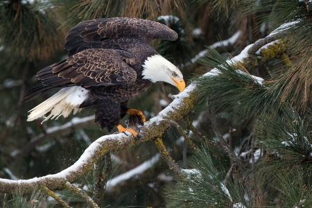 Eagle 1093