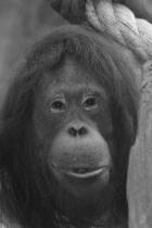 orangatang in black and white