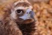 Cinereous Vulture...