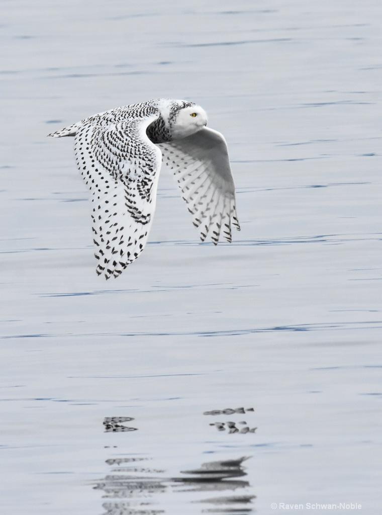 Reflections  Snowy Owl - ID: 15511153 © Raven Schwan-Noble