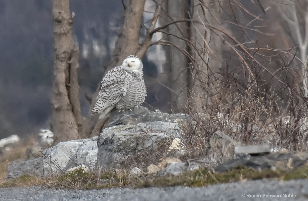 Young Snowy Owl - ID: 15511155 © Raven Schwan-Noble