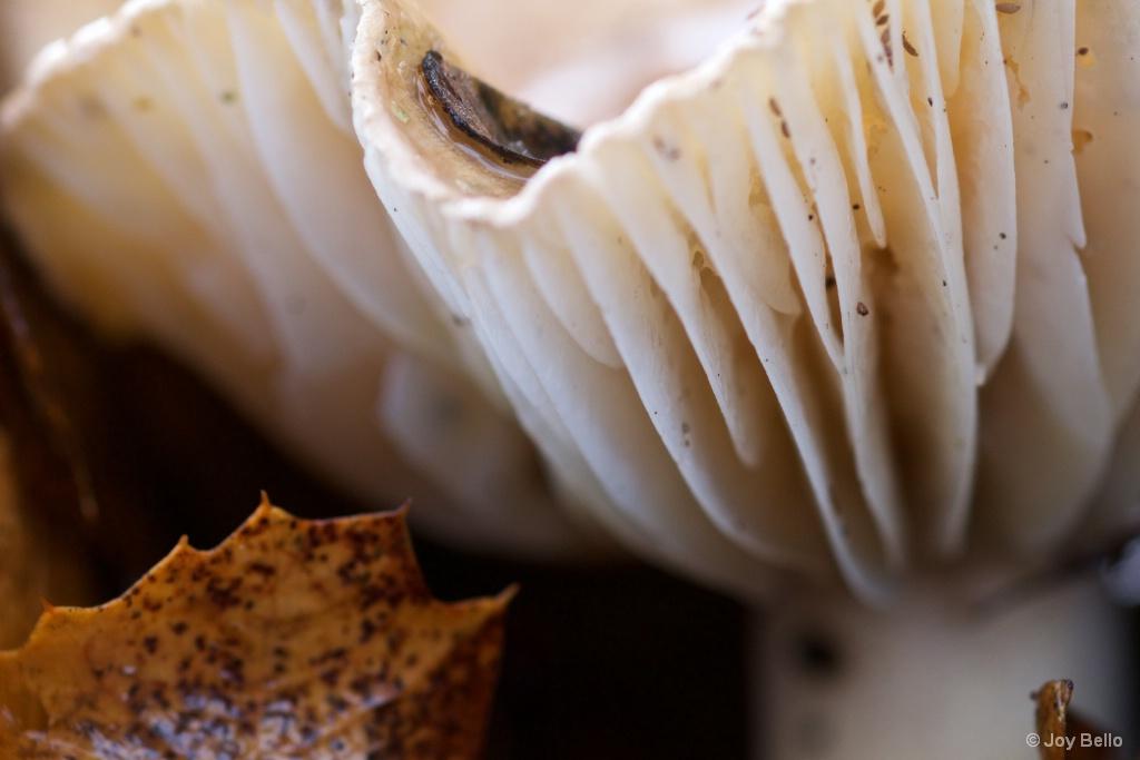 Lamellae on a Mushroom