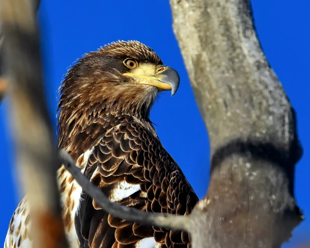 The Young Bald Eagle