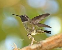 Annas Humming Bird W1 11 06 2017