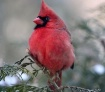Cardinal in Janua...