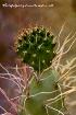 Cactus exquisite