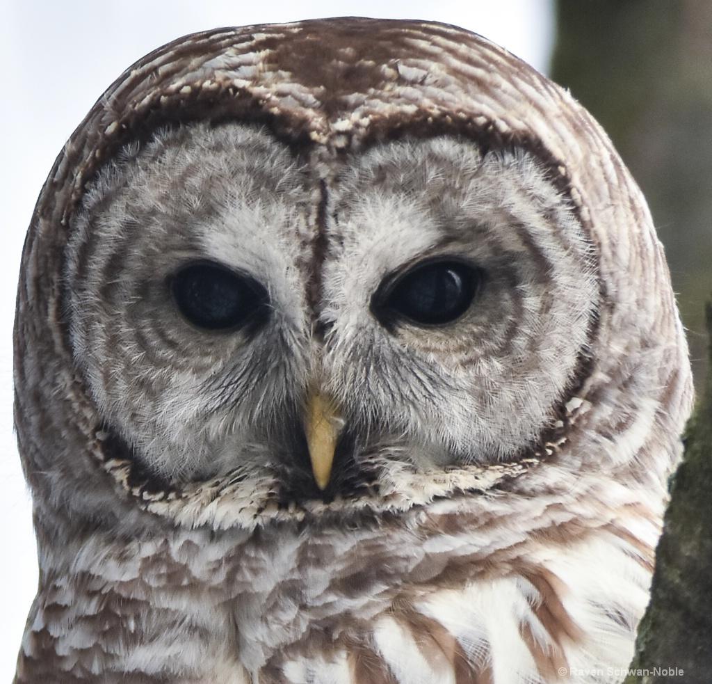 Barred Owl Staredown - ID: 15515047 © Raven Schwan-Noble