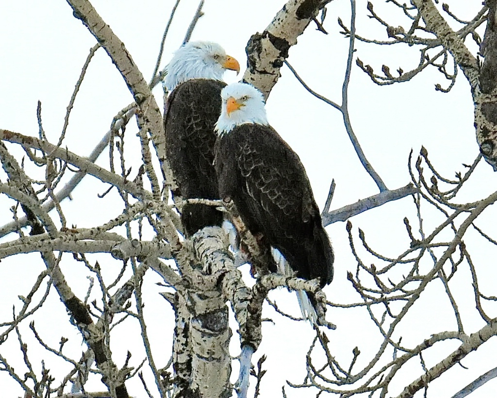 Mom and Dad Bald Eagles
