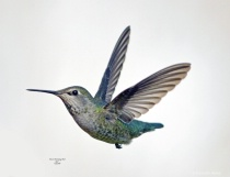 Annas Humming Bird 792 1 25 2018