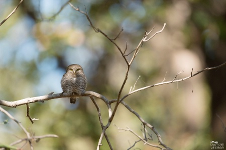 Spotted Owl.