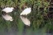 Herons white