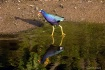 Purple gallinule ...