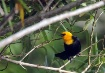 Surinam Birds